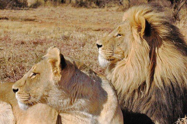 劇団四季 ライオンキング 動物 何種類 名前